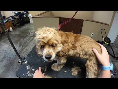 Well-Bred 6 Month Old Cocker Spaniel | Fell Off The Table