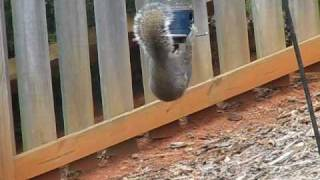 Squirrel Vs. Droll Yankee Whipper