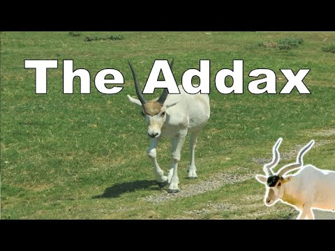 Thumbnail: The spectacular Addax (Animal Adventure Park) - Episode 86