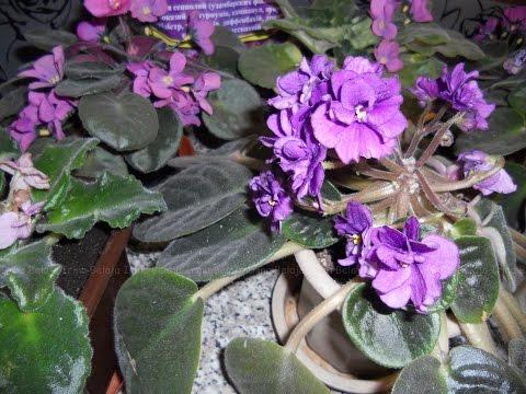 Герань (Pelargonium)