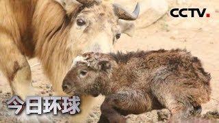[今日环球] 陕西:野生动物救护基地 喜添一只羚牛宝宝 | CCTV中文国际