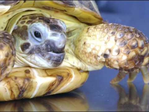 Уход за сухопутной черепахой. - YouTube
