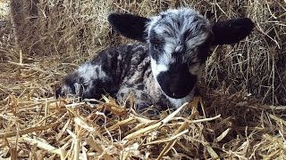 Picking up the pets lambs, Lets see how a shepherd does it!