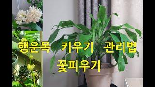 행운목 키우기 - 물주기,꽃피우기,식물키우기, 반려식물…