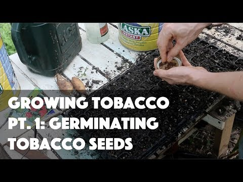 Growing Tobacco Pt. 1: Germinating Tobacco Seeds
