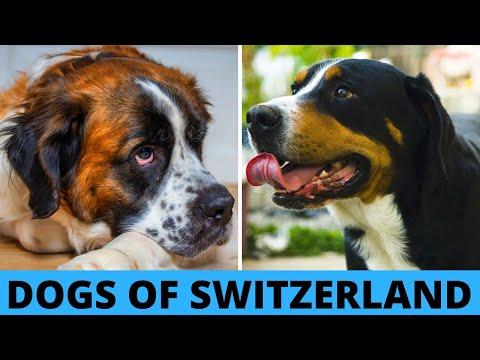 TOP 10 Swiss Dog Breeds List