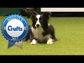 Agility - Kennel Club British Open Jumpi