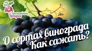 видео Как и когда сажать виноградные кусты 2—4- летнего возраста