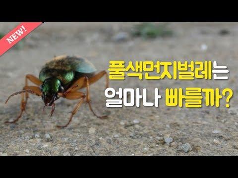 풀색먼지벌레는 얼마나 빠를까요?