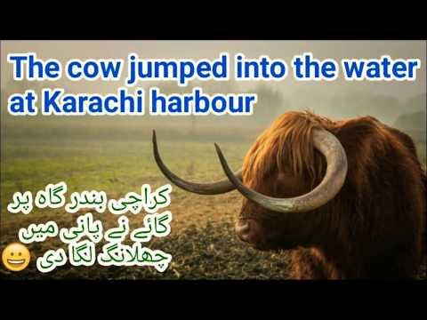 The cow jumped into the water at Karachi harbor