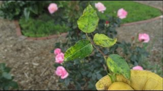 What Should You Do If You See This On Your Rose Bushes?