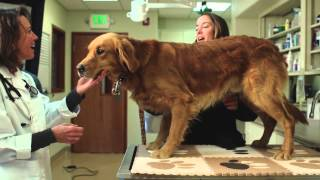 Golden Retriever Lifetime Study Psa - For Veterinarians (1min)