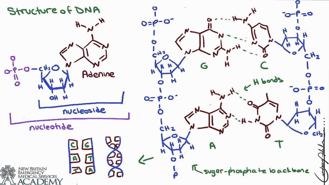 Nucleic Acids & ATP - YouTube