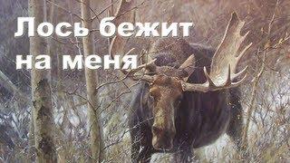Лось бежит на меня. Охота на лося видео 2012-2013 Moose hunting in Russia.