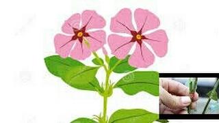 How to graft Sadabahar, (periwinkle or vinca rosea)