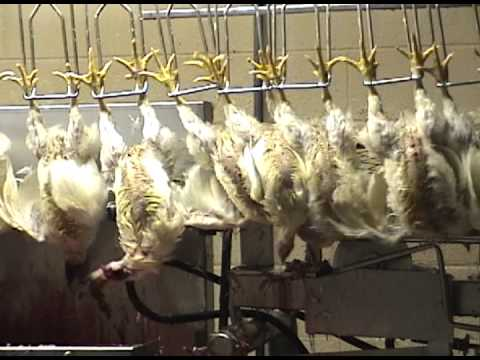 30-second clip: Chicken slaughter (Compassion Over Killing)