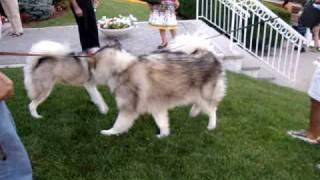 Alaskan Malamute Vs Siberian Husky - Ululati A New York