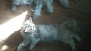 Сколько шерсти после расчесывания кошки