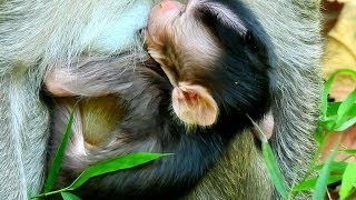 Welcome To New Born Baby Monkey In Mila Group!  |Very Young Mom Just Gave A Birth Early Morning