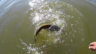 Bass Fishing Grass With Shiners