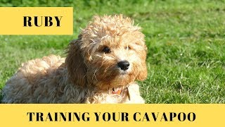 Ruby - Training Your Cavapoo Puppy - 2 Weeks Puppy Boot Camp