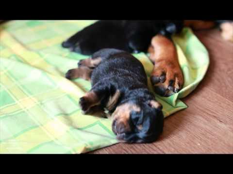 новорожденные щенки ротвейлера фото
