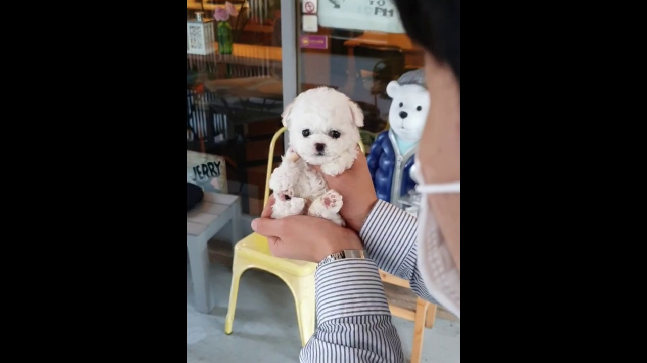 What a beatiful bichon frise cutest and lovely puppy videos - Teacup puppies