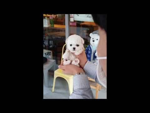 What a beatiful bichon frise cutest and lovely puppy videos - Teacup puppies KimsKennelUS