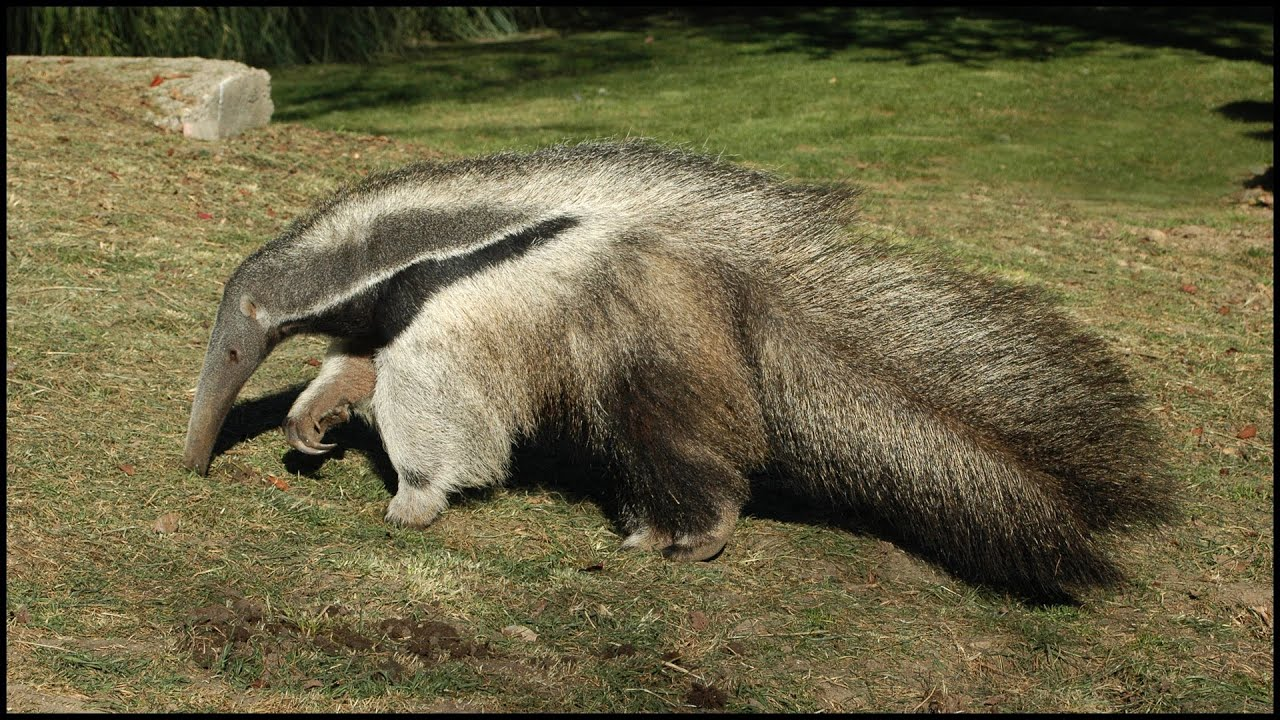 Giant Anteater Carrying Its Baby On Its Back (Myrmecophaga ...