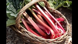 Planting And Growing Rhubarb
