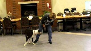 """hoss The Boxer"" Therapy Dog At The Preble County Senior Center, Eaton, Ohio."