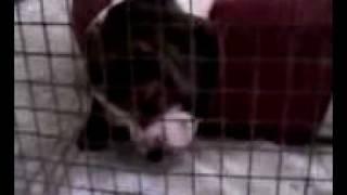 6 Week Old Beagle Snoring