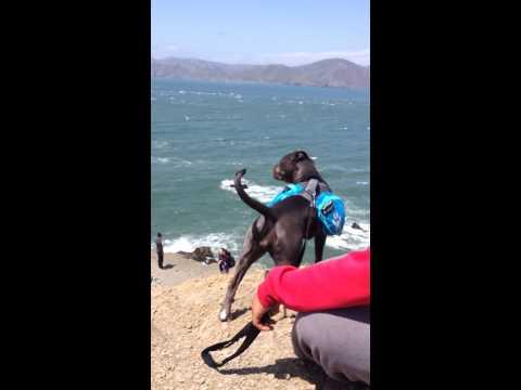 Pitbull puppy at san francisco beach