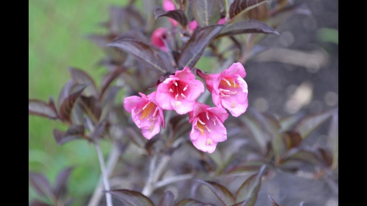 Purple Flowering Bonsai Tree Youtube
