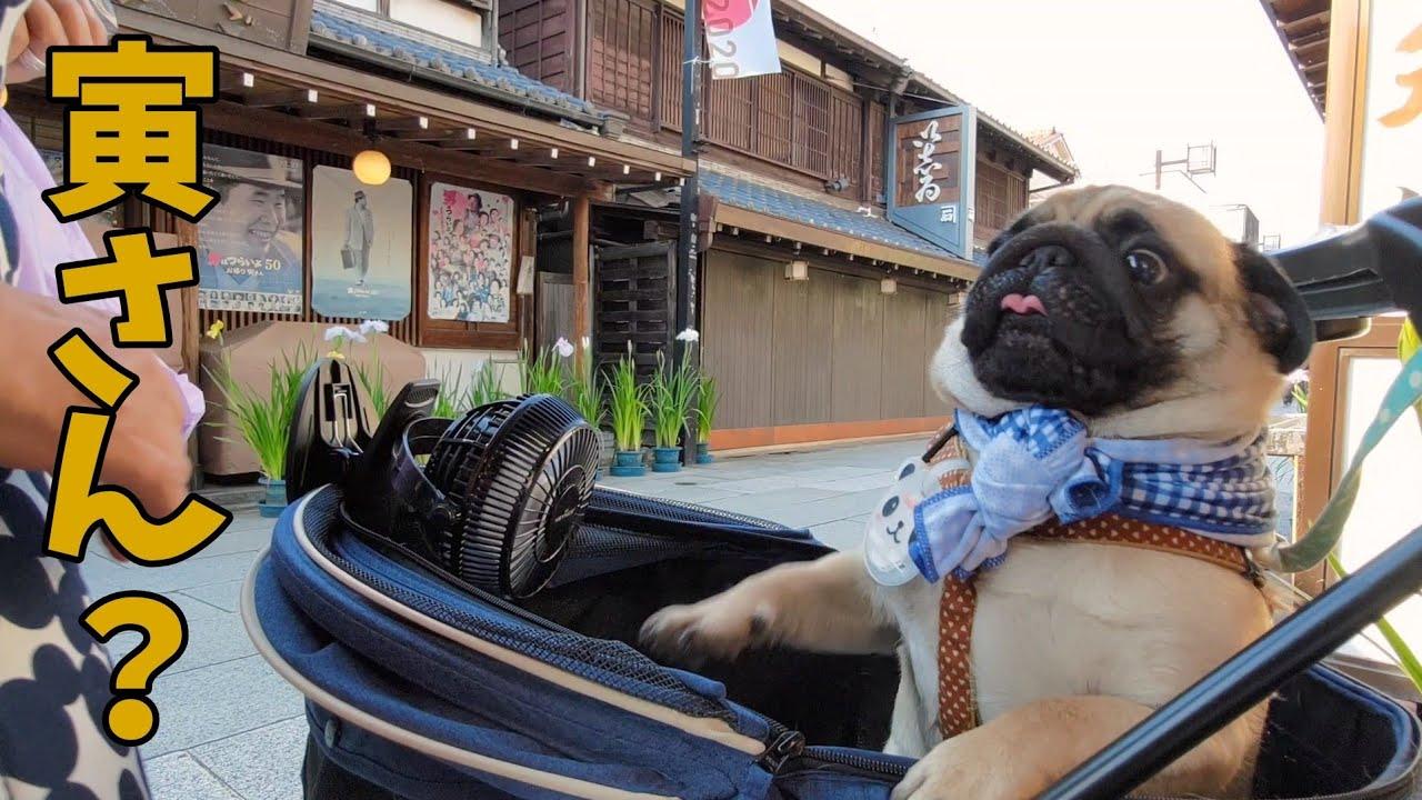 【悲報】パグ、柴又でハシャギ過ぎて犬にドン引きされる