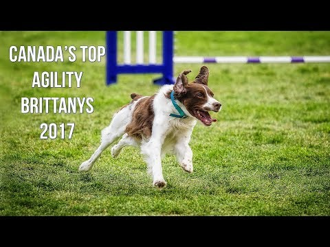 Canada's Top Agility Brittanys - Hunter's Heart Brittany Spaniels (CKC Top Dogs 2017)