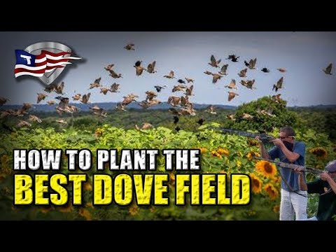 How To Plant The Best Dove Field / Sunflowers For Dove Hunting Part 1