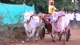 Furious khillari stud bull running in bullock cart race