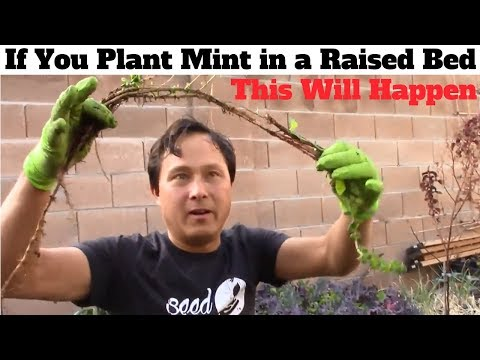 If You Plant Mint in a Raised Bed This Will Happen