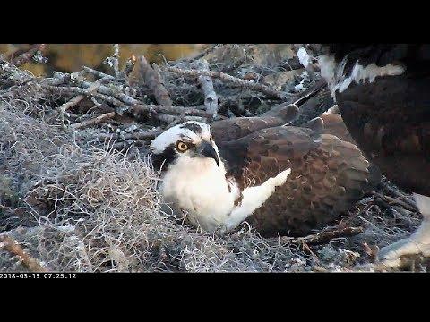 Three Eggs at The Landings Bird Cam at Skidaway Island, Georgia 2018 03 15 07 30 34 886
