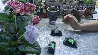 🌹🌹🌹ГЛОКСИНИЯ? ПОСАДКА ПЕРЕРОСШИХ КЛУБЕНЬКОВ !  How to grow gloxinia from a tuber