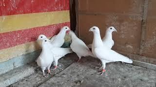 Белые почтовые голуби - 2