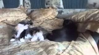 Уживутся ли 2 взрослые кошки ?