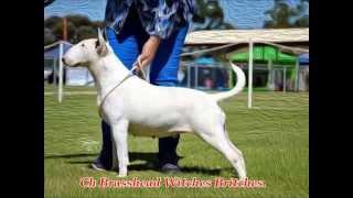 Australian Bull Terriers 2014