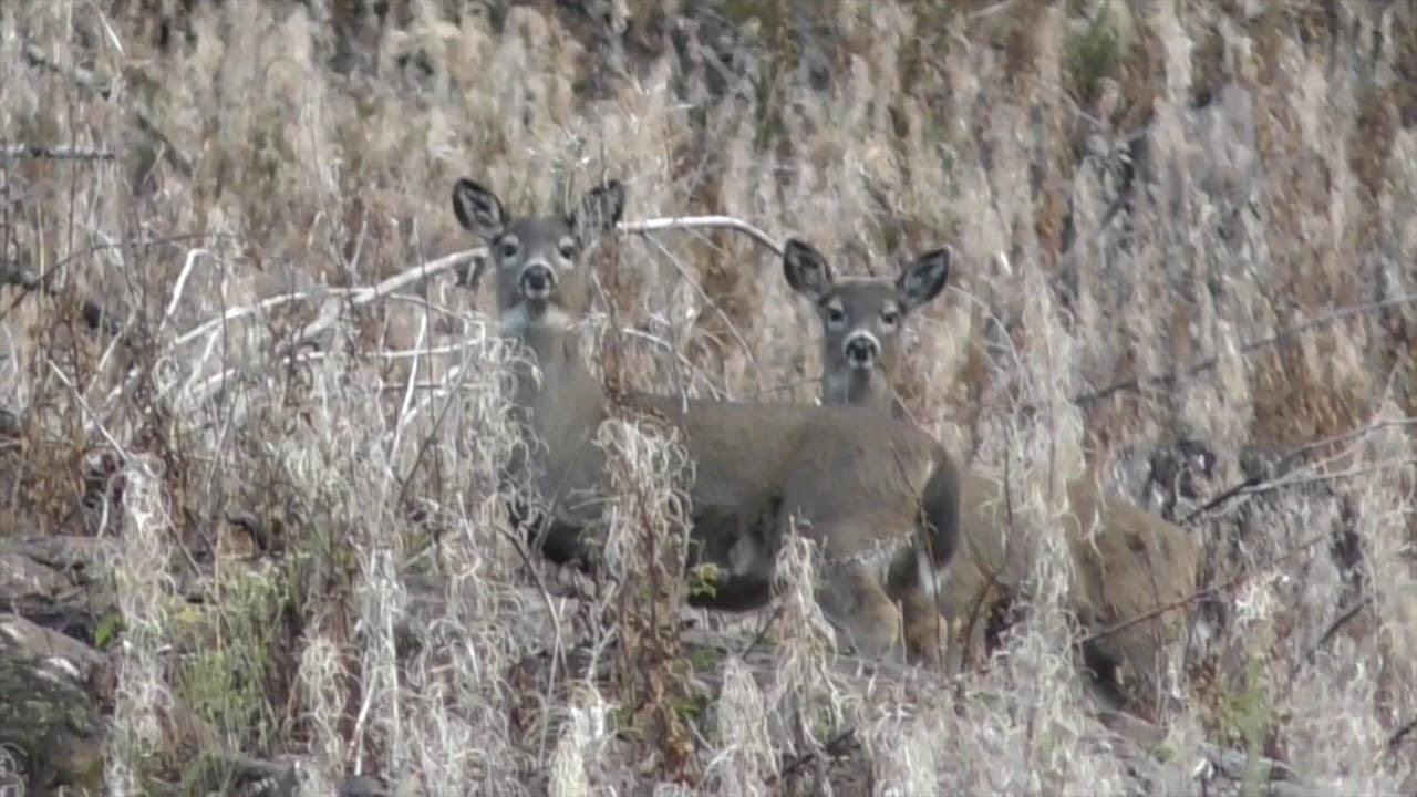 Blacktail Deer Hunting 2019