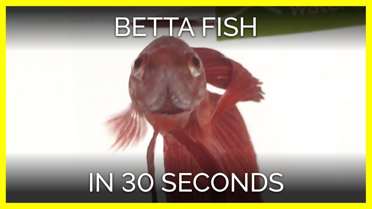 Betta Fish | PETA