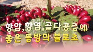 항암,항염증에 좋은 백년초로 막걸리식초 만들기