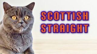 Very Cute Scottish Straight Cat #Shorts