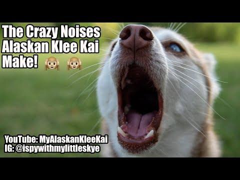 Alaskan Klee Kai: Crazy noises my Mini Huskies make!