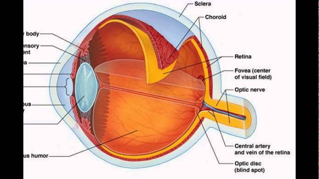 The Human Eye Structure And Function - YouTube